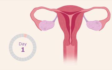 Какие 3 фазы менструального цикла у женщин существуют